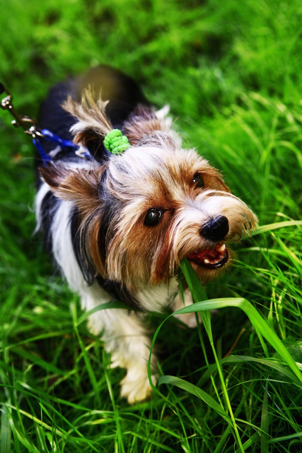 犬が散歩の時に草を食べているのは止めた方がいいの?