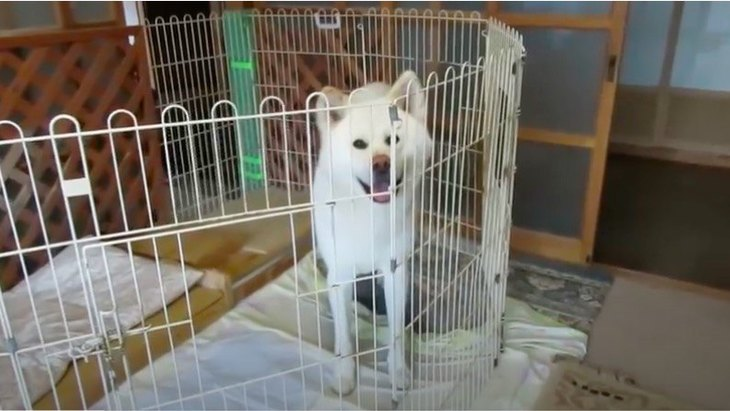 しっかり者の秋田犬くん♡届いた自分のご飯をきっちりチェックしま〜す