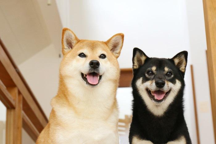 柴犬を多頭飼いするときの注意点やコツ