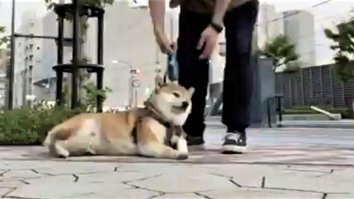 やだやだ動きたくない!頑なにへなへな過ぎる柴犬さんが話題♡
