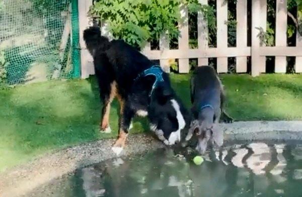 「ボールが取れない」困っている友人を助ける!犬たちの熱い友情