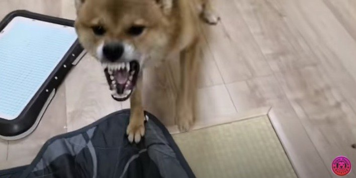 『超凶暴化』した柴犬が、施設に来ただけで最高の笑顔に!?