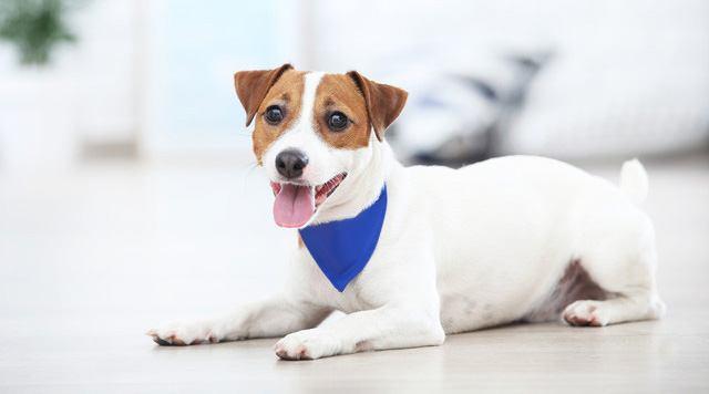 ジャックラッセルテリアの犬種情報