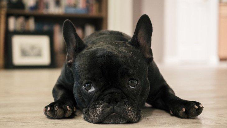 黒のフレンチブルドッグを飼いたい!おすすめのブリーダーやその値段相場