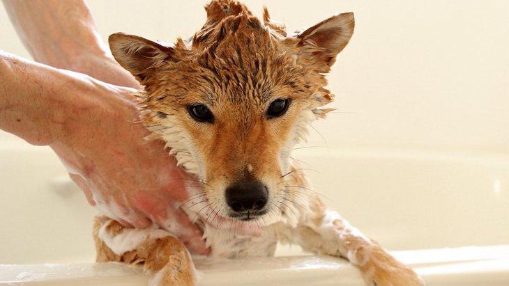 柴犬のお風呂の正しい入れ方は?嫌がる時の対処法も知っておこう!