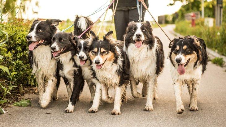 犬の多頭飼いにおける散歩のポイント4つ