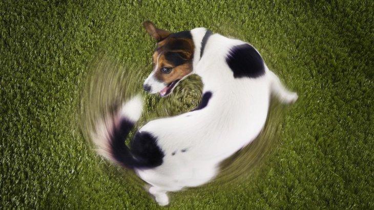 犬が同じ場所でくるくる回る心理5選!病気になっている可能性も…?