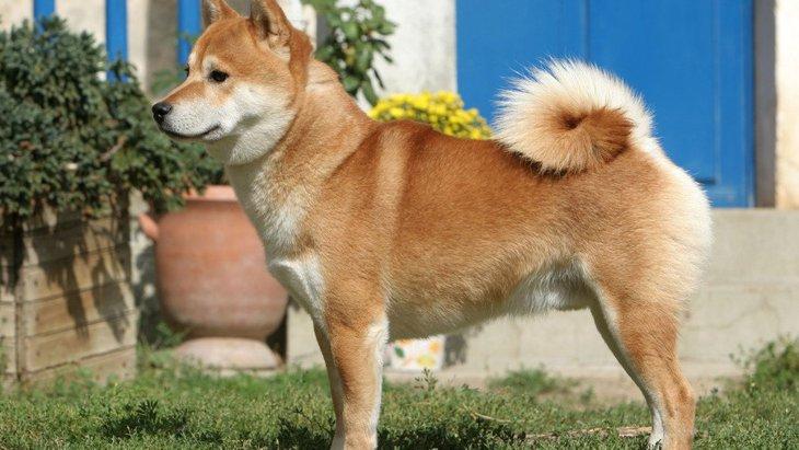 尻尾がクルクルしている犬種6選