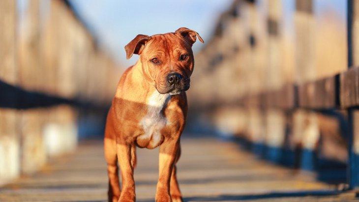 スタッフォードシャーブルテリアという犬種について、特徴から危険度まで
