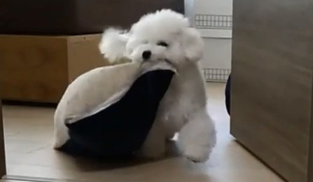 何度隠してもクッションを持ってきてしまうふわもこ子犬が可愛すぎる♡