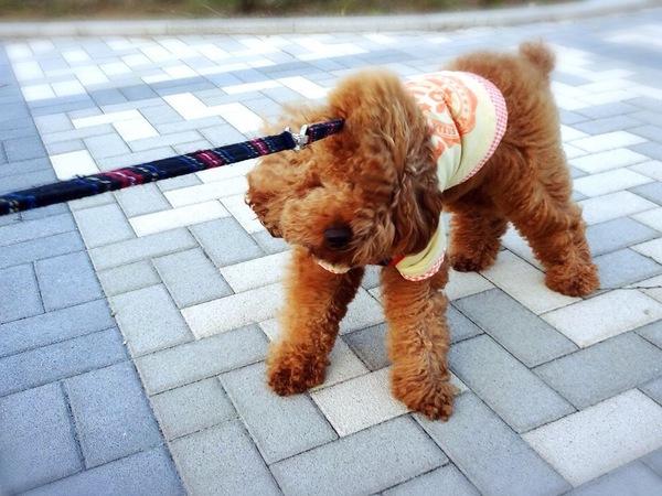 犬が散歩で歩かない理由と対策