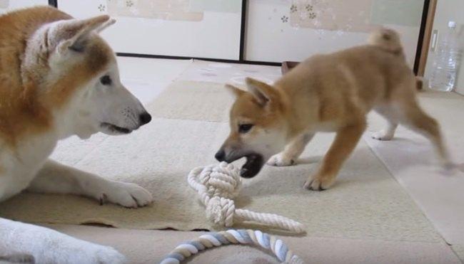 先輩わんこのおもちゃが欲しい!熱視線を送る子犬くん♡