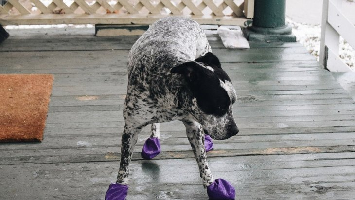 犬に靴を履かせた時に変な行動をする理由4選