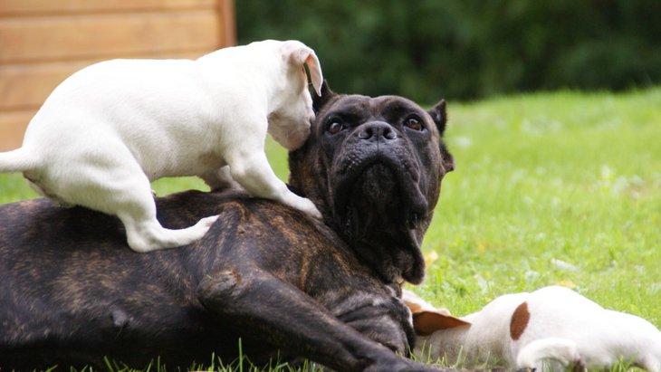犬が『マウンティング』する心理3つ