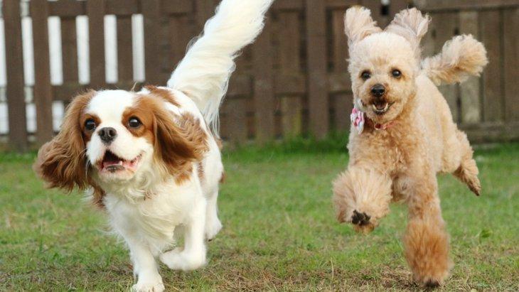 犬が『狂ったように走る』5つの理由とは?危険な症状もあるって本当?