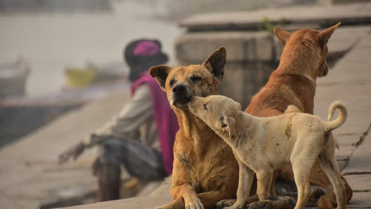 野良犬の子育ては母犬と代理母の共同作業【研究結果】