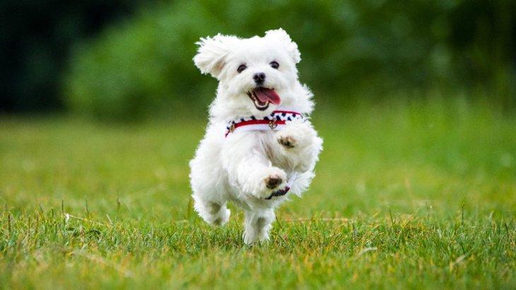 『コロコロした犬種』5選!飼うときの注意点まで徹底解説