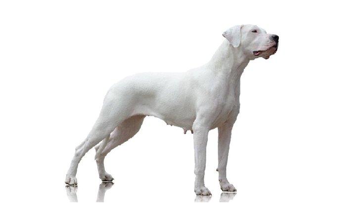 ドゴアルヘンティーノの性格や特徴、子犬の販売価格や、おすすめブログの紹介まで