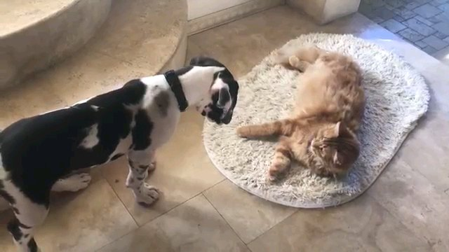 「どけ!」「どかニャイ」わんことにゃんこのマット攻防戦
