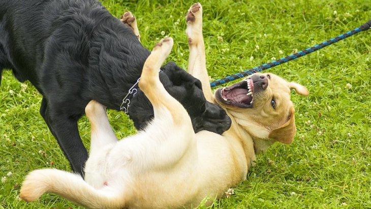 犬同士が喧嘩をしている時のNG行為2選!やってはいけない止め方とは?