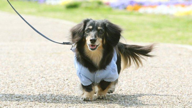 老犬に絶対してはいけない『散歩の仕方』4選!あなたは愛犬に無理をさせていませんか?