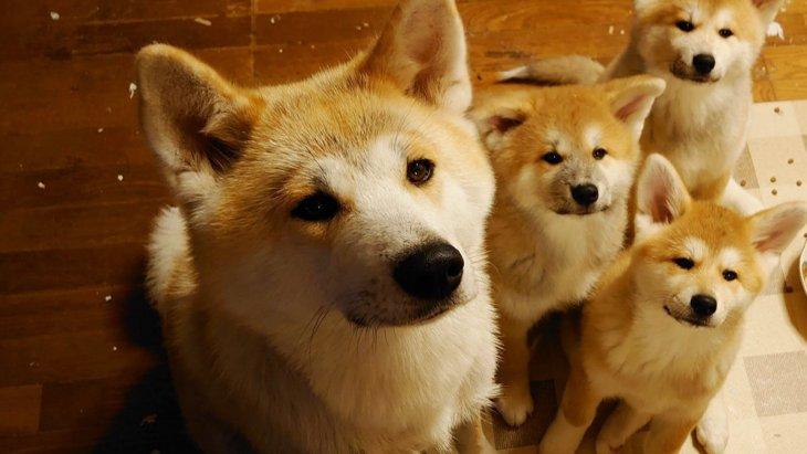 モフモフ秋田犬の親子、一緒に反省する姿が可愛すぎると話題!