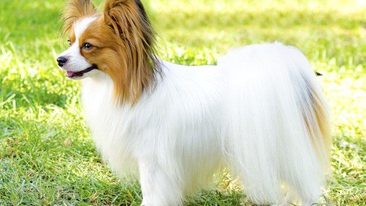綺麗でサラサラな毛を持つ犬種9選