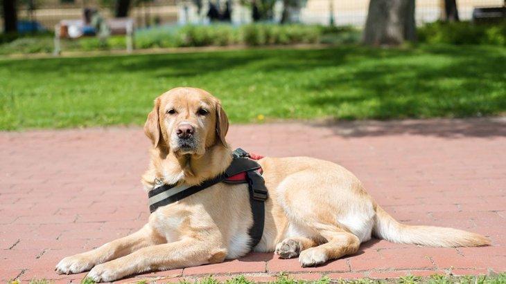 PTSDの介助犬の重要なタスクとは?治療方法となる?