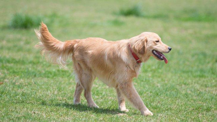ゴールデンレトリバーの性格と特徴、寿命や飼い方、子犬の価格まで