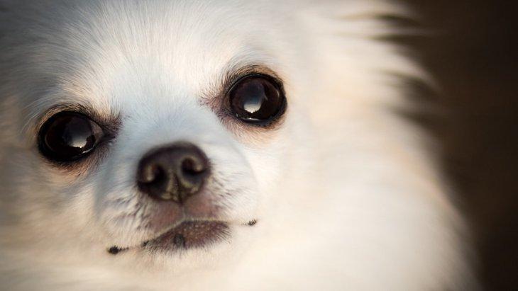 犬を叱った後じっと見つめてくる理由とは?