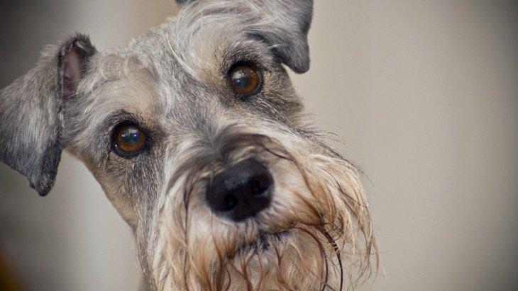 犬のヒゲが白くなっているのは何故?病気の可能性はあるの?