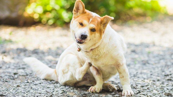 犬が体をかく時は注意が必要?3つの心理と適切な対処法