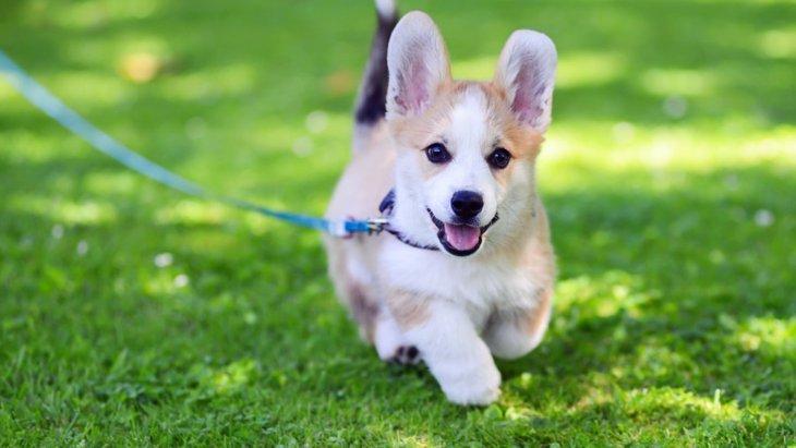 子犬の散歩デビューの時期と適切な時間とは