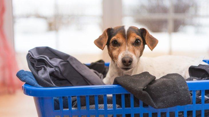犬が洗ったばかりの洗濯物の上で寝る4つの理由