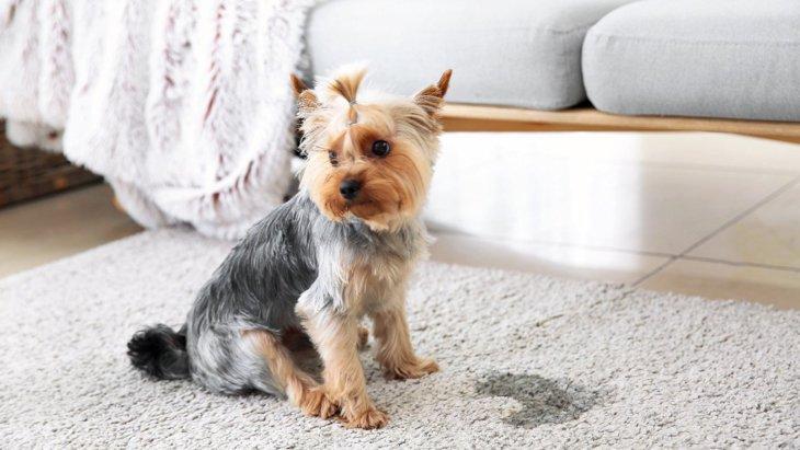 犬が粗相をしてしまう時の心理4選!改善するための方法は?