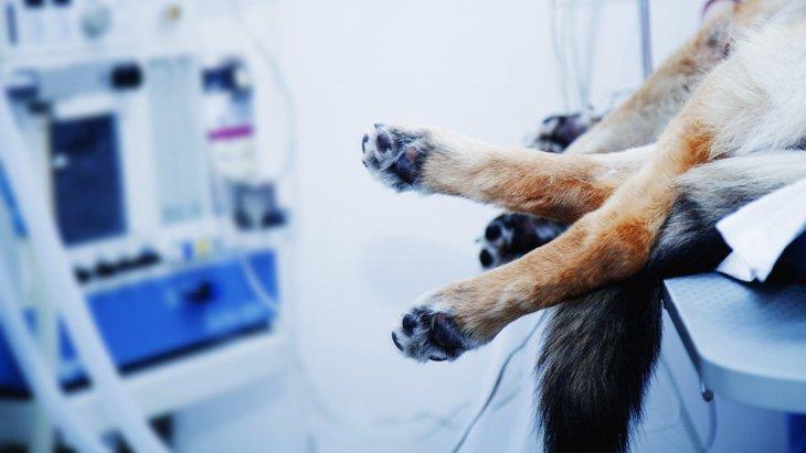 夏の意外な危険、犬にトウモロコシを与える際はご注意を!