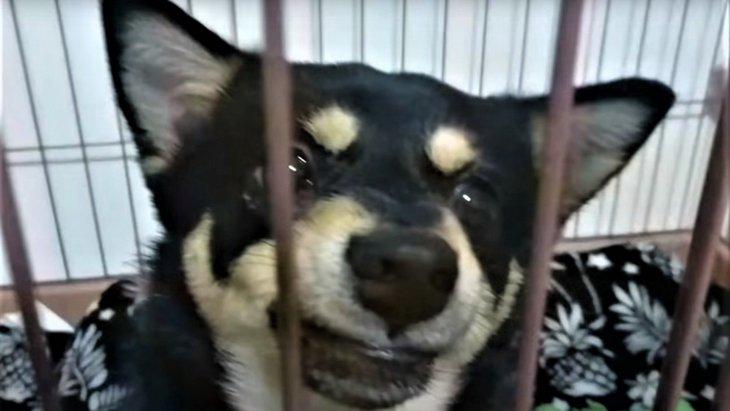 まるで別犬!唸る噛むの柴チワワ、驚きのビフォー・アフター!