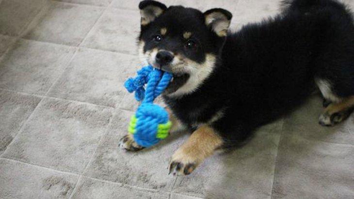 初心者飼い主と柴犬ルークの奮闘記 〜子犬を迎えるまでに必要な物〜