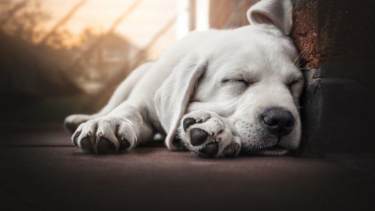 犬が寝ている時に悲鳴をあげる理由2つ!病院には行くべき?