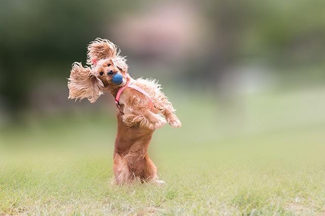垂れ耳の犬について 生まれた理由や注意したい病気