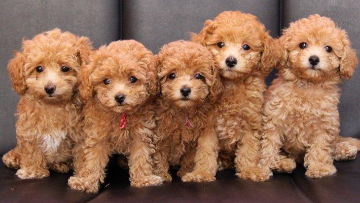 小型犬の出産がリスクが高いと言われている理由