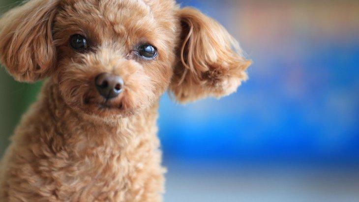 『従順な犬種』4選!言うことを聞いてもらうためにするべき飼い方は?
