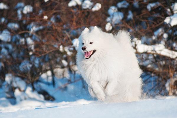 アメリカンエスキモードッグは雪遊びが大好きな愛玩犬!