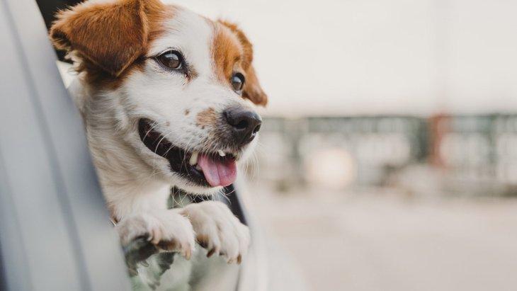 犬が『車で落ち着かない』時の理由3選!主な心理と正しい対処法