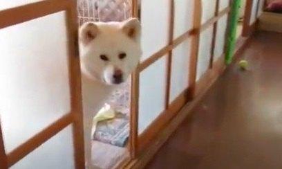 【期待外れ】ツンデレ秋田犬くんは企画モノ動画には協力しない主義!