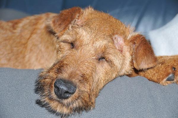 犬の体温、平熱は何度?測定方法や考えられる病気とは