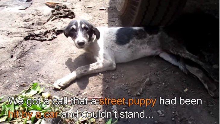 車にひかれて道端から動けなくなった子犬のレスキュー。回復に涙