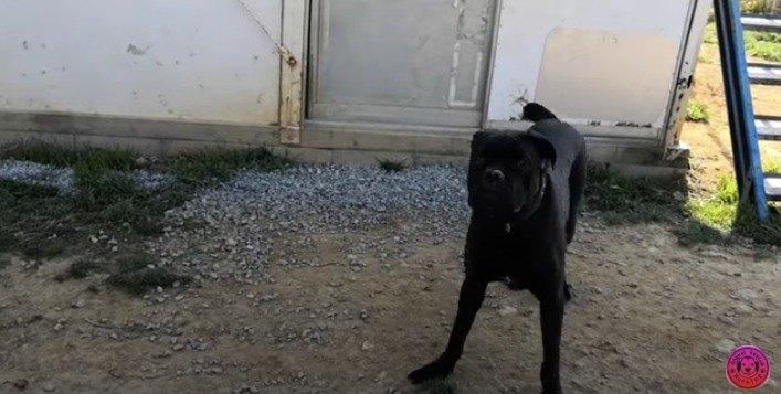 襲いかかる『カネ・コルソ』。殺処分と言われた大型犬が家族の元へ