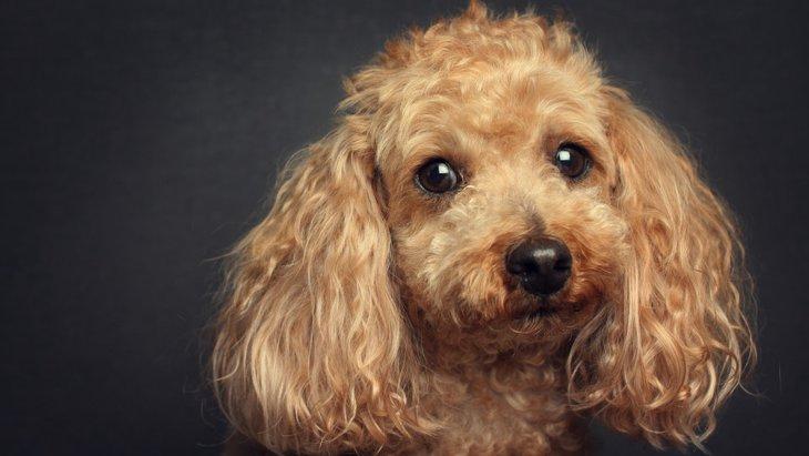栄養不足の可能性も!犬の毛が退色していく理由