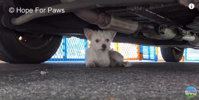 暑い路上にひとりでいた真っ白い子犬をレスキュー。とにかく可愛い♡